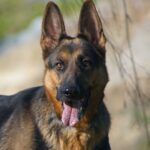 German Shepherd Price in India, Breed Information and Characteristics