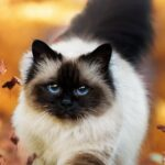 Himalayan Cats: Facts, Price, Information and Characteristics In India
